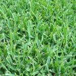 How to Identify Austin Grass Types