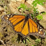 19 Amazing Facts About the Monarch Butterfly