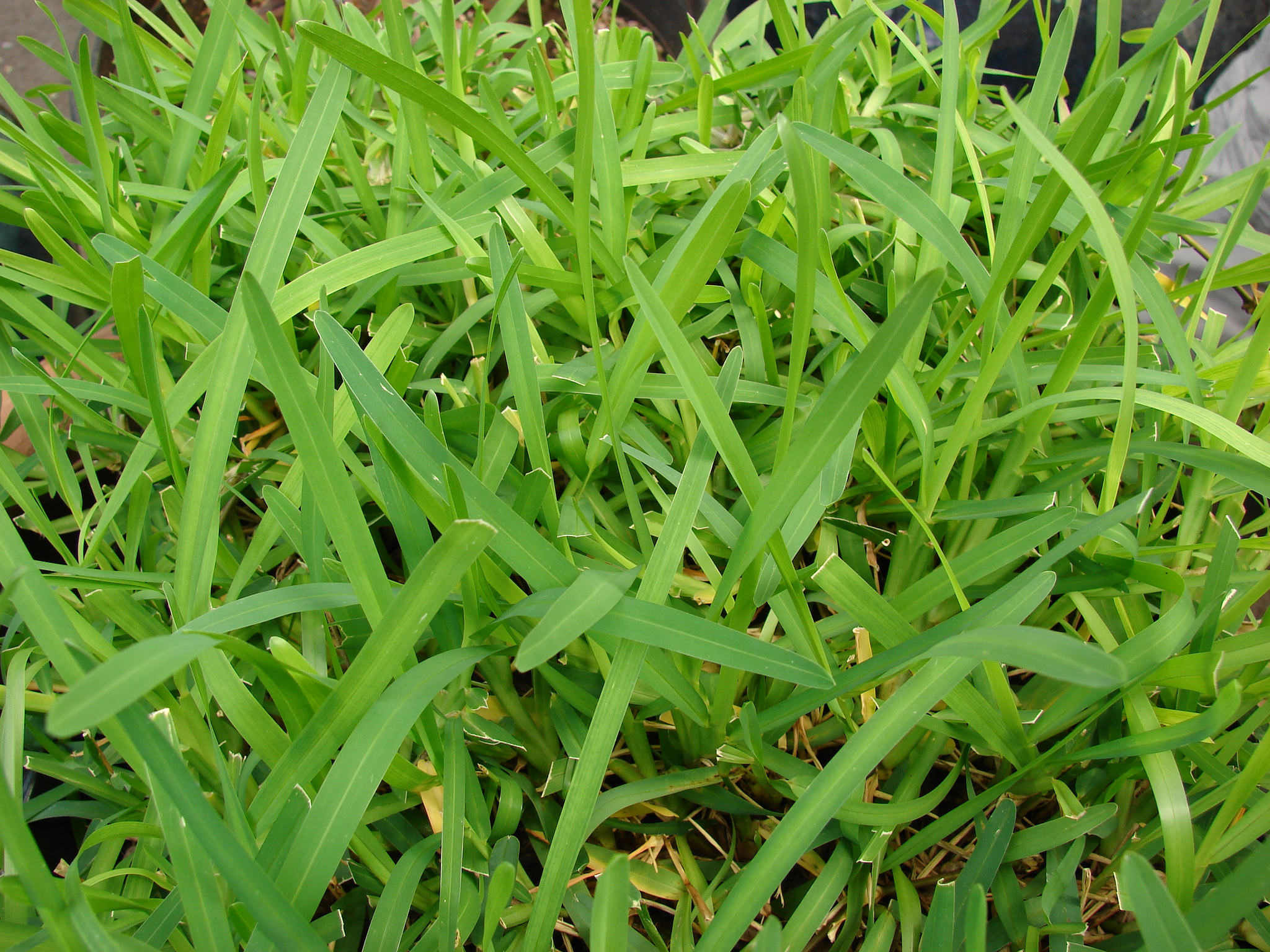 Types of lawn grass weeds - Centipede Grass