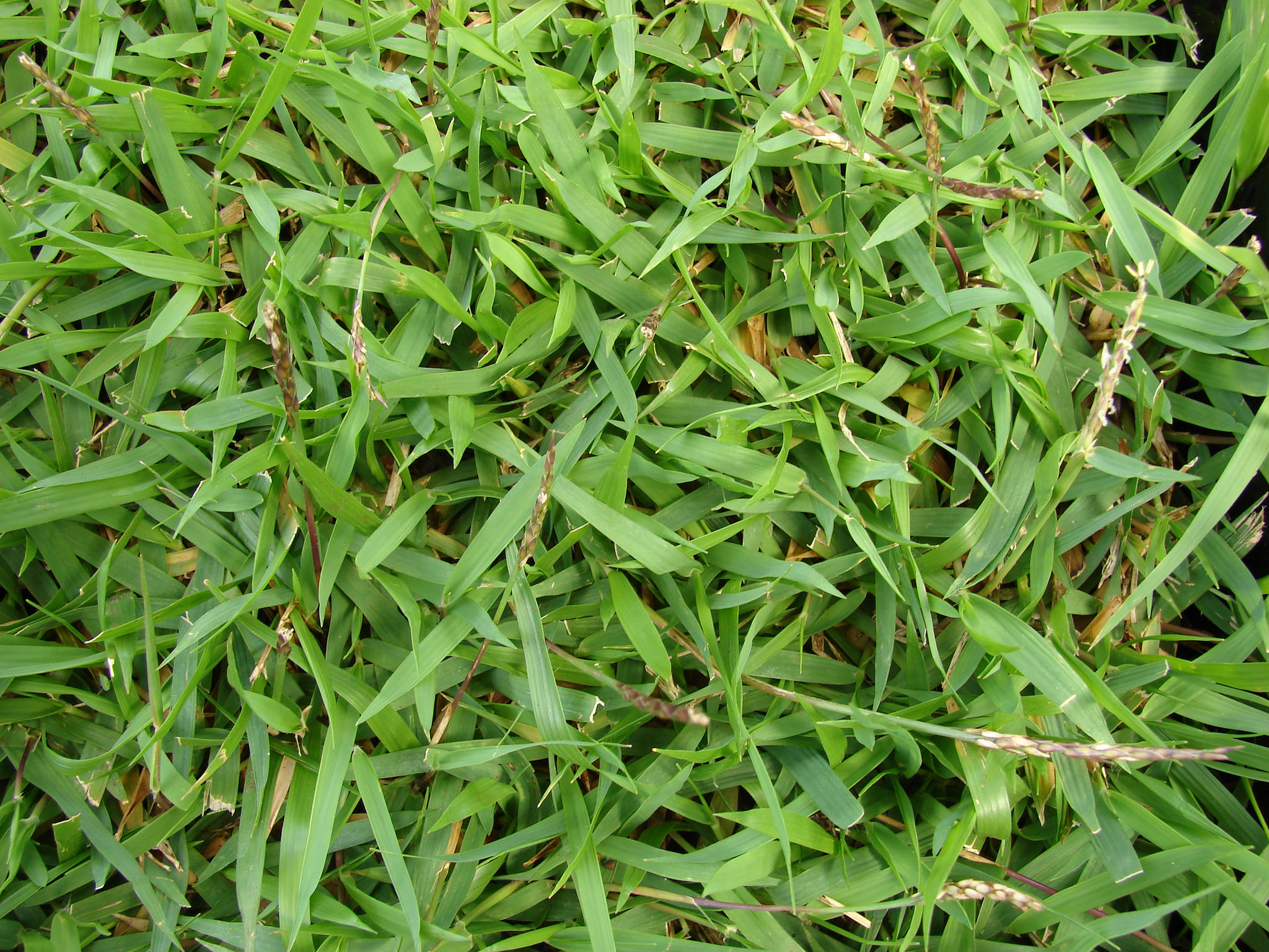 grass types that thrive in granbury  tx lawns