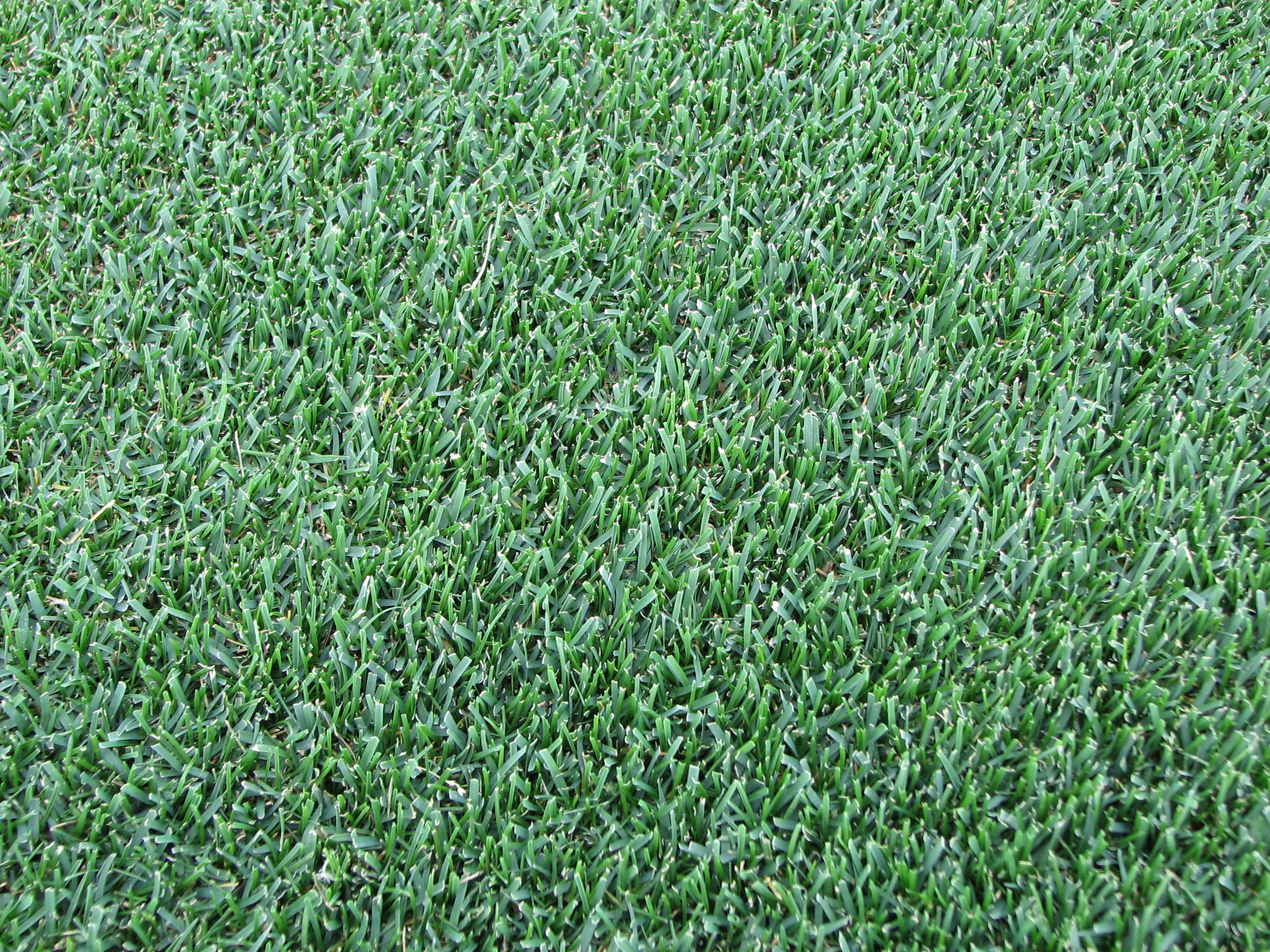 kentucky bluegrass grass type