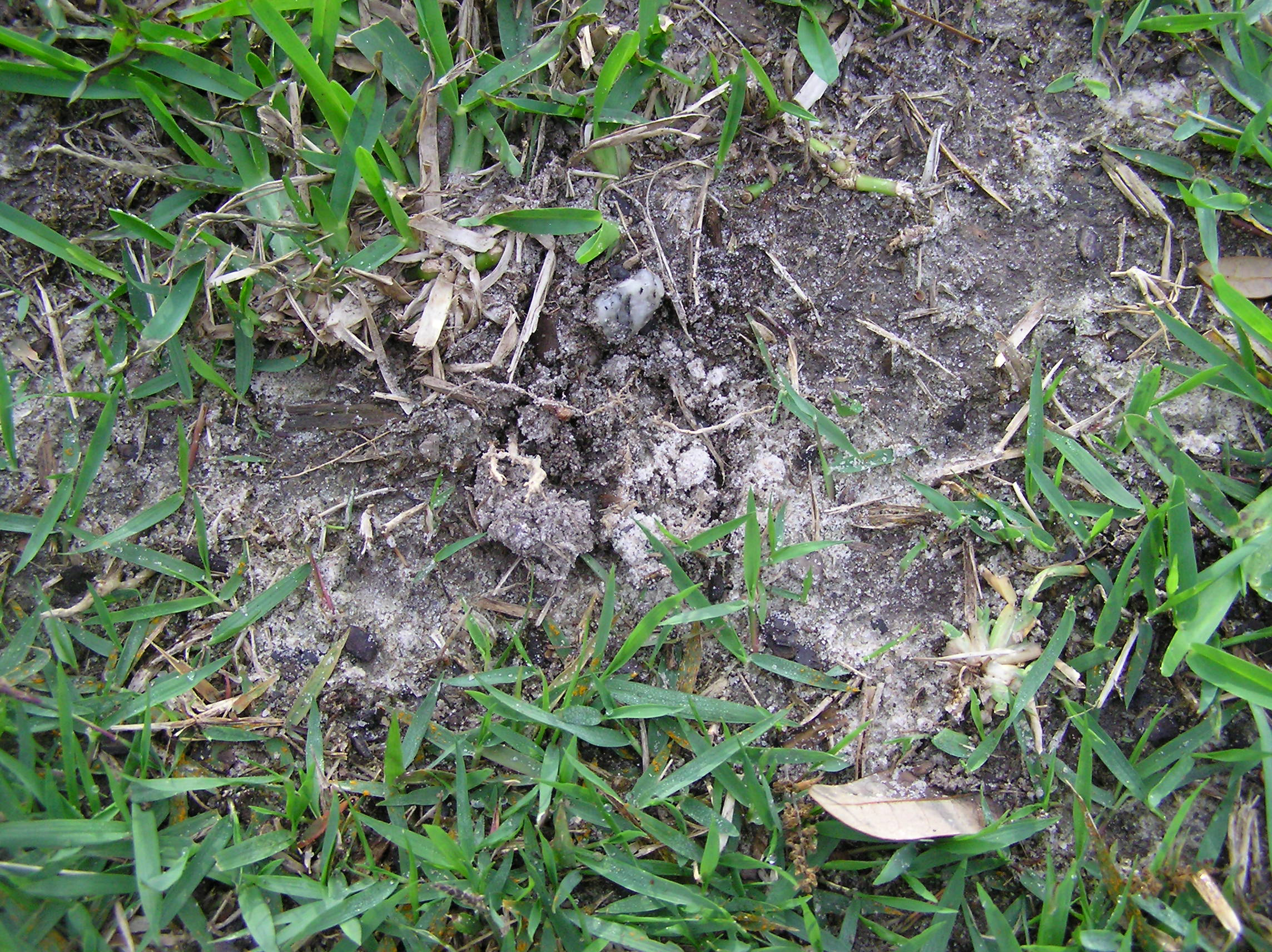mole cricket lawn damage