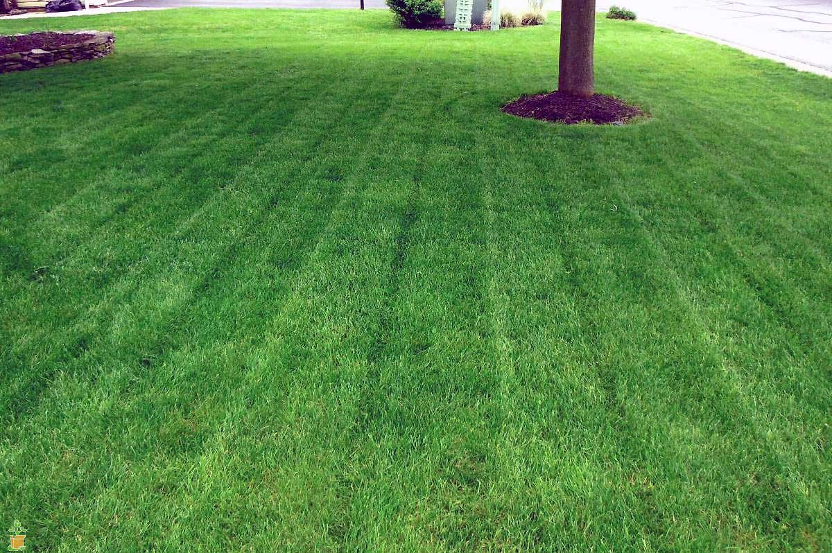 The 6 Most Popular Types Of Grass That Grow In Memphis Tennessee Lawns Lawnstarter