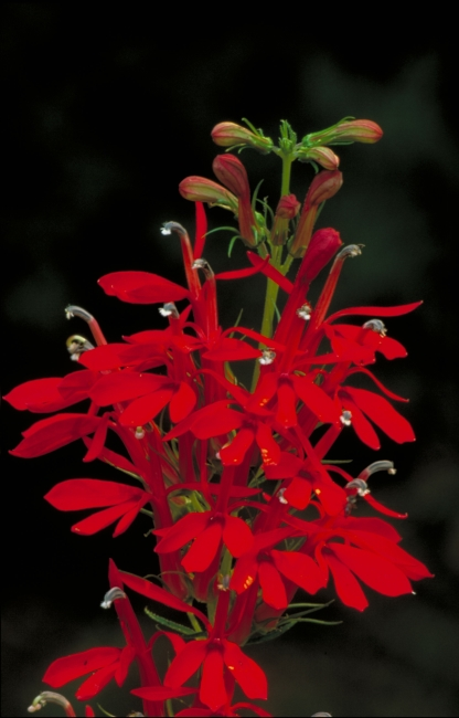 Cardinal flower by Lawnstarter.com