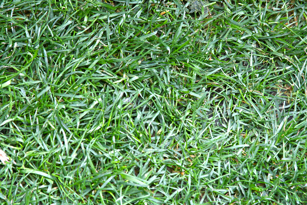 Common Gr Types For Lawns In St Louis Mo Lawnstarter