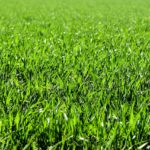 Grass Types Guide for Lawns in Los Angeles, CA