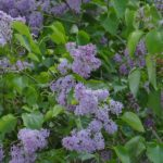 Lilac Bush Pruning Tips for Lancaster, PA