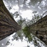 Reborn – redwoods cloned from giant stumps live again