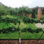How to Espalier a Fruit Tree