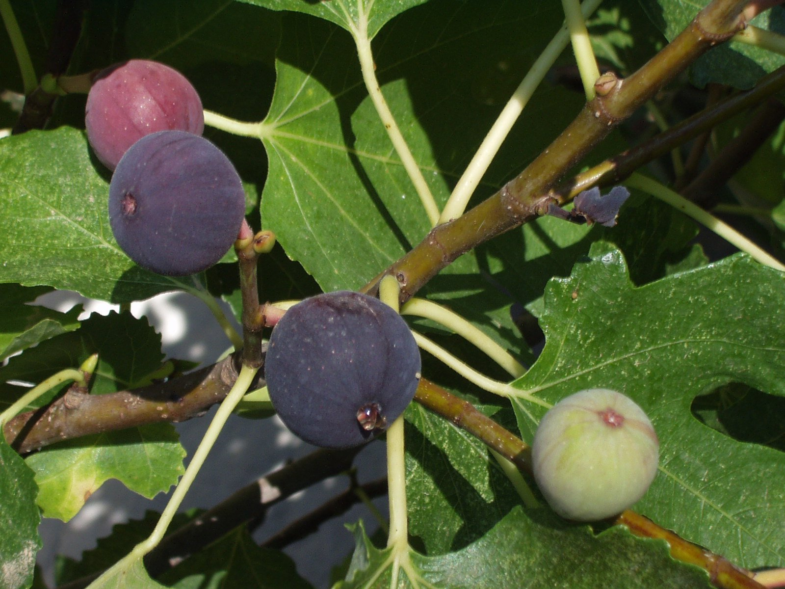 Planting And Caring For Fig Trees A Guide Lawnstarter
