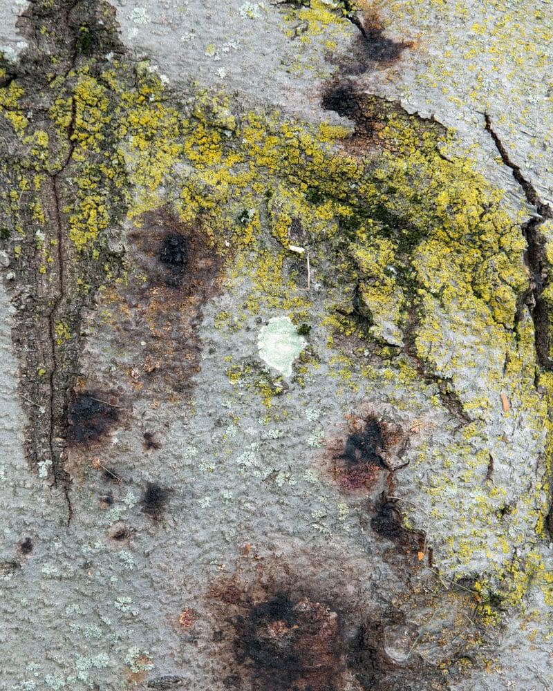 Beech bark disease