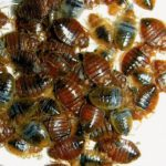 How to Battle Bed Bugs in Columbus