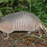 How to Get Rid of Armadillos in Your Yard