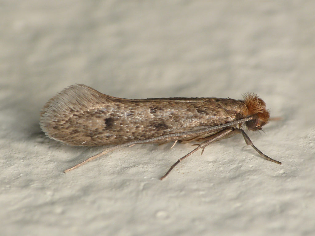 Casebearing clothes moth