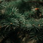 Pine Tree Diseases and How to Treat Them
