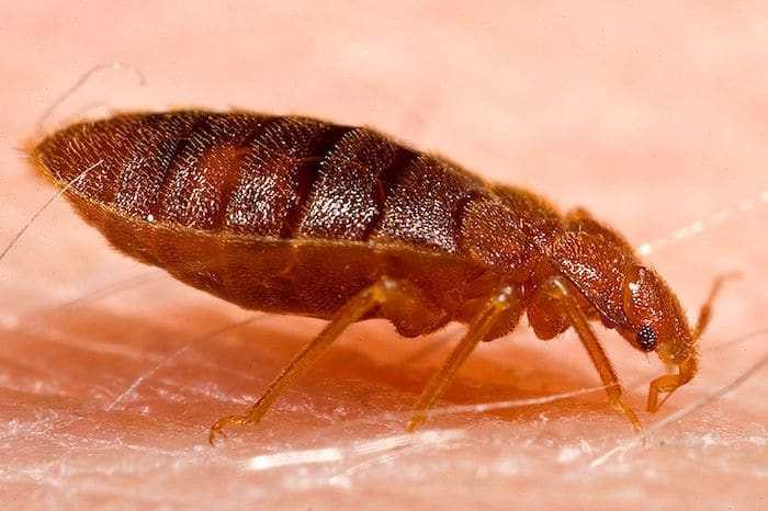 10 Bugs That Look Like Bed Bugs And How To Tell The Difference