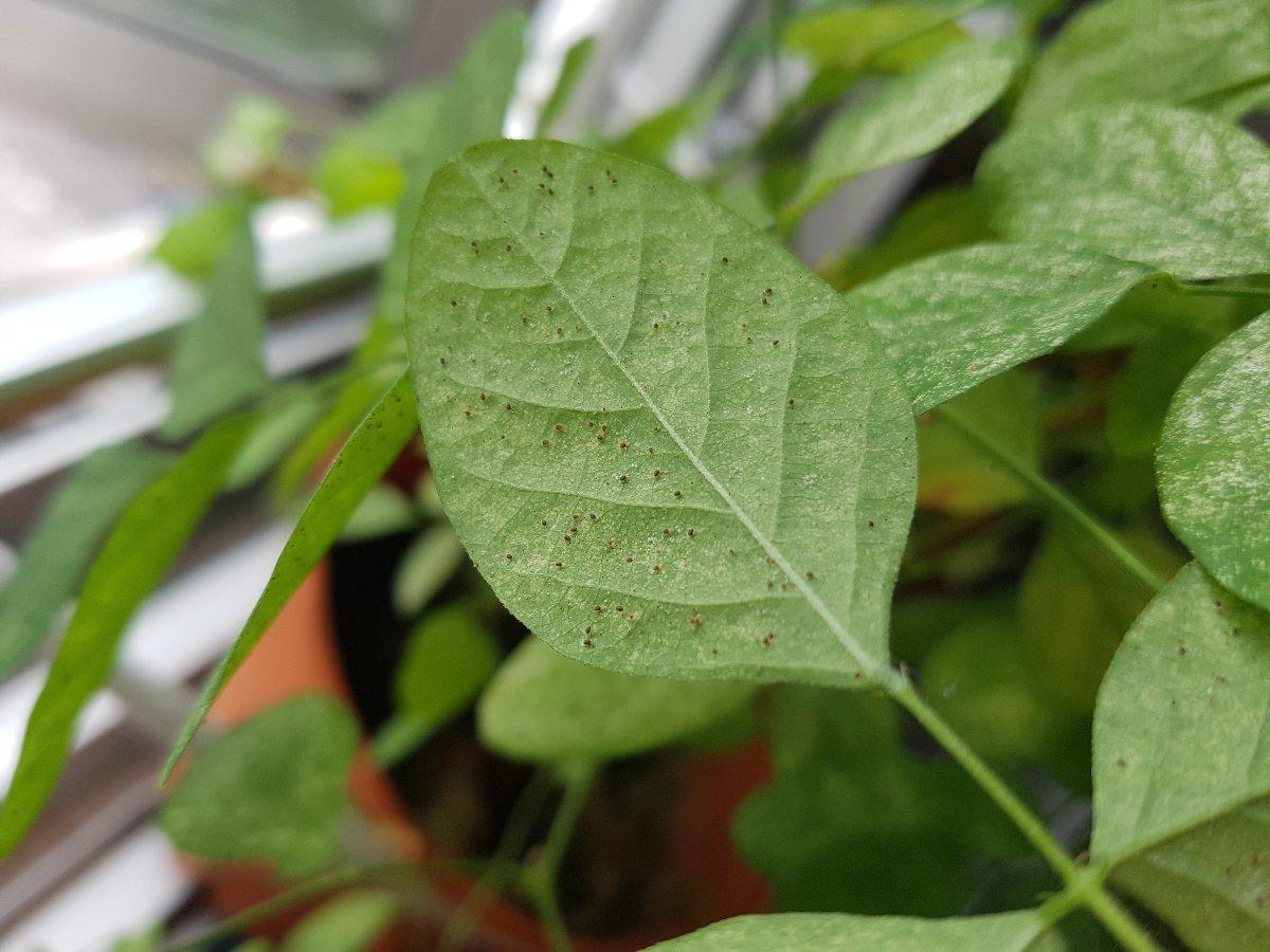spider mites on leaf