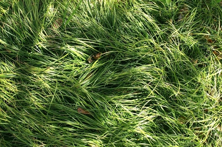 green mondo grass ground cover