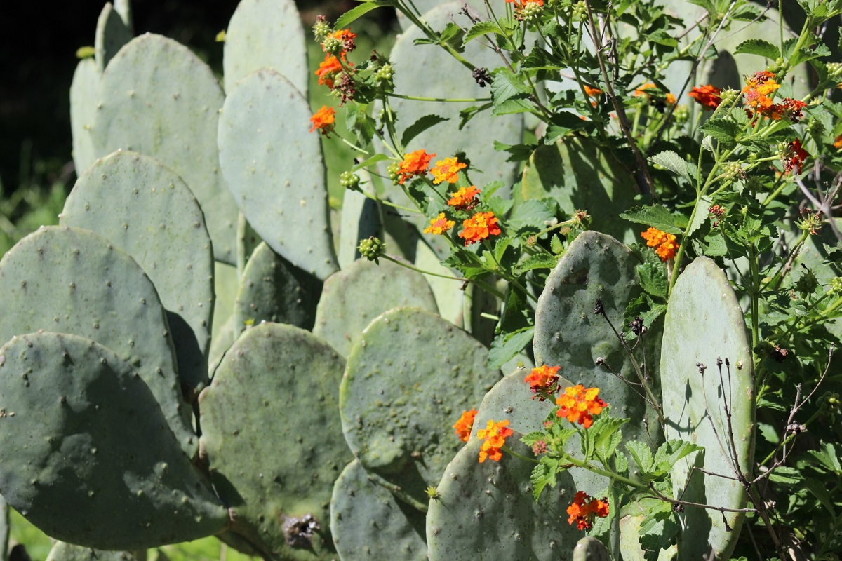 Prickly pear cactus and Texas lantana in flower