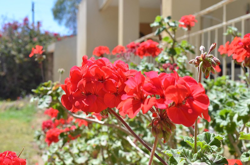 Close-up of red flowers with a house in the background