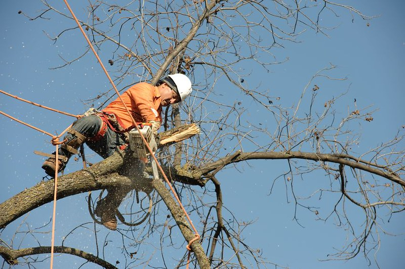 Worker high in a tree trimming branches