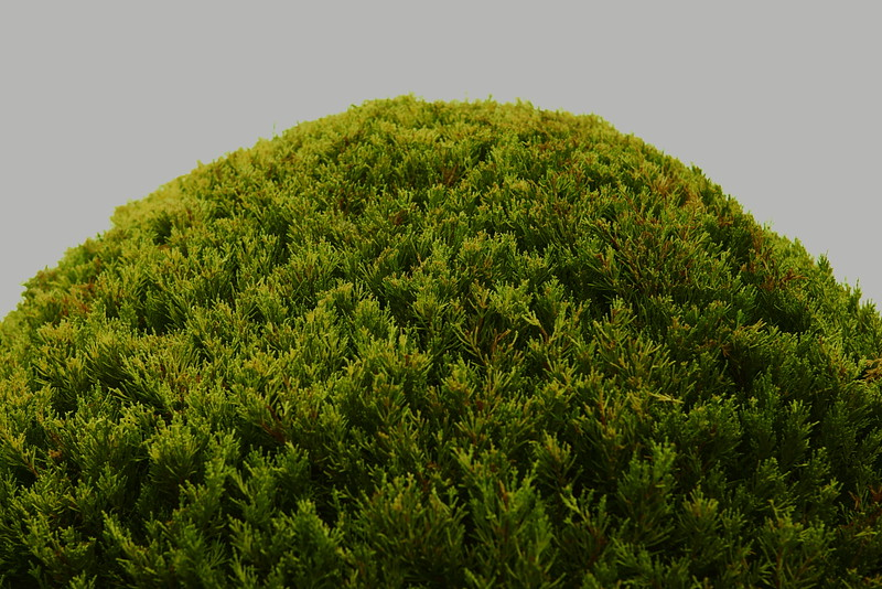 close-up of a freshly trimmed round bush