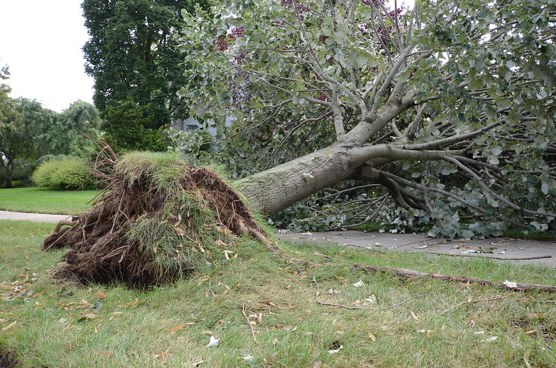 Fallen tree with roots lifted through the ground