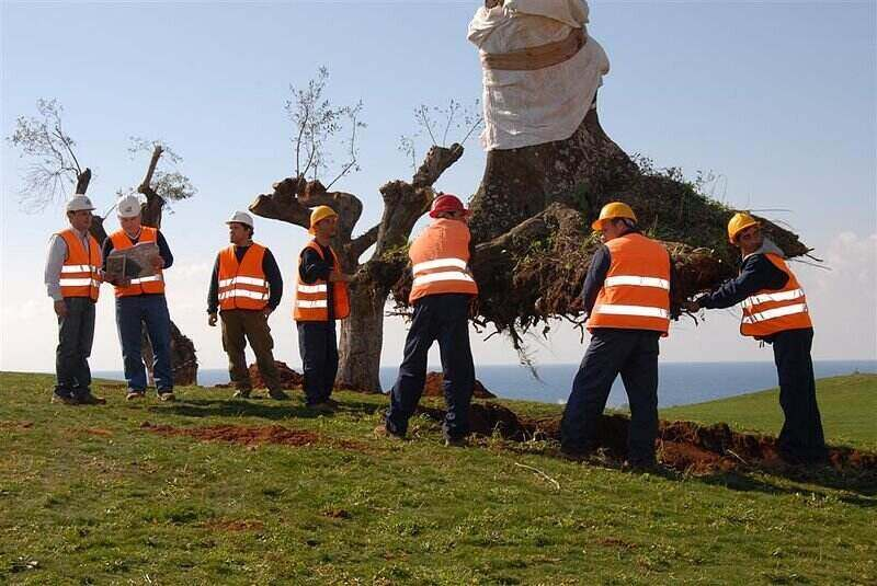 Group of workers transplanting a large tree with the full root system
