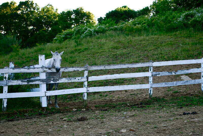 White horse standing on the inside of a white wood fence