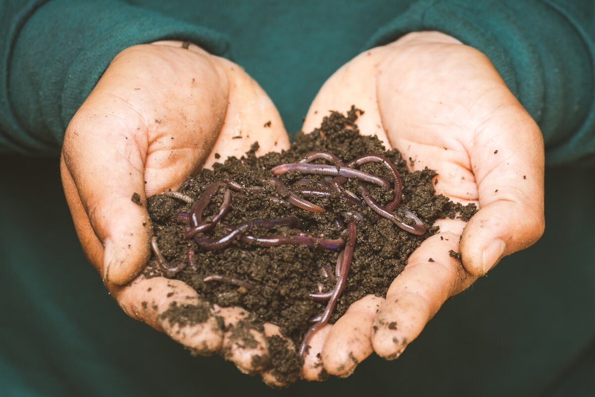 Person holding a handful of compost soil with many earthworms throughout