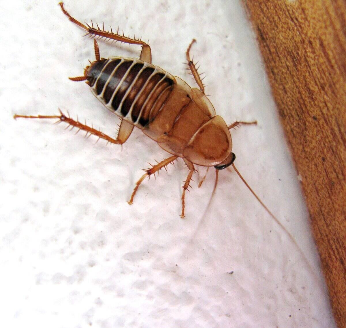 Close-up of a single cockroach