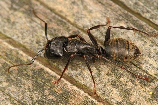 closeup of black carpenter ant